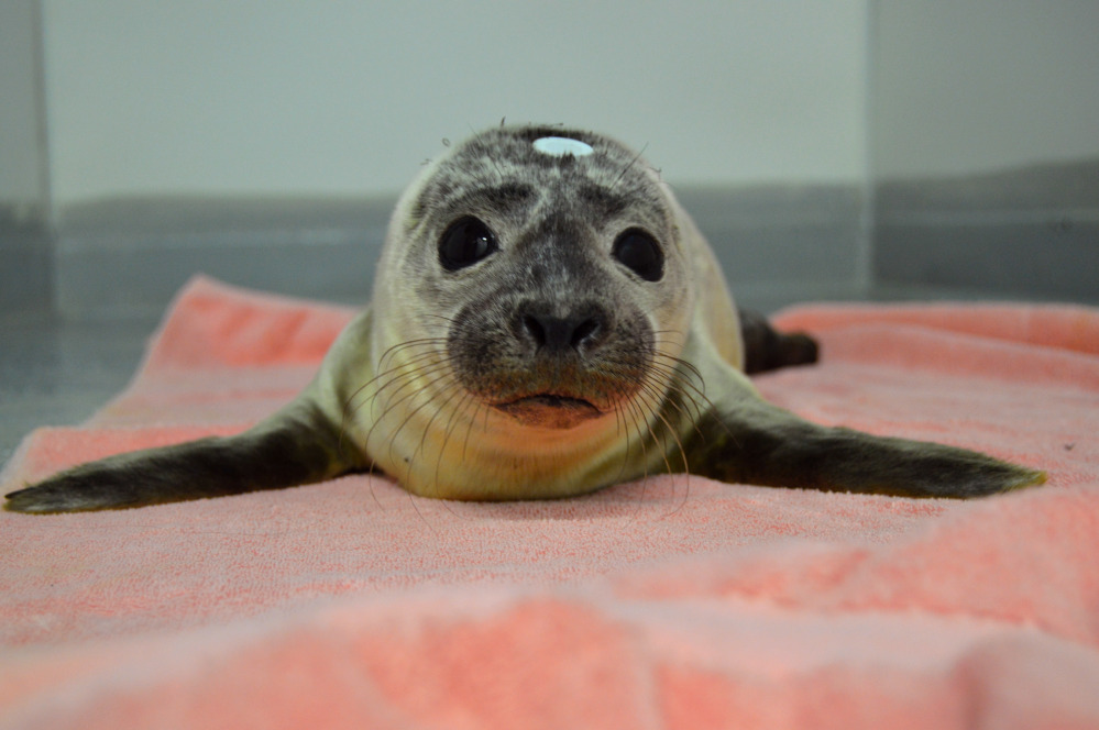 "In this June photo provided by the National Marine Life Center, a seal pup named ""Giseal Bündchen"" is treated at the facility on Cape Cod, Mass. Giseal, along with another celebrity-named harbor seal pup, was set free on a Massachusetts beach Tuesday."