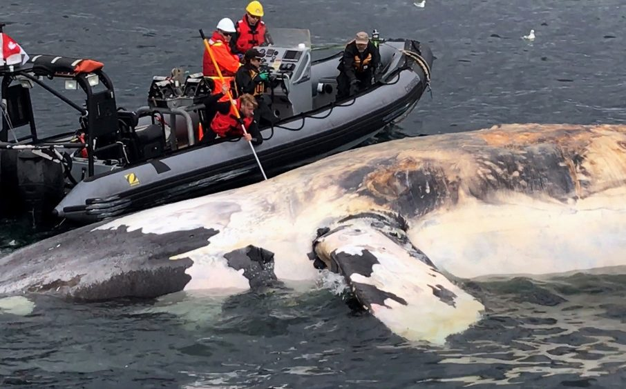 Researchers examine a dead North Atlantic right whale along the Gulf of St. Lawrence in Canada this summer. Canadian authorities have documented a dozen deaths among the already endangered species, and another four whales died in the waters near Cape Cod since June.