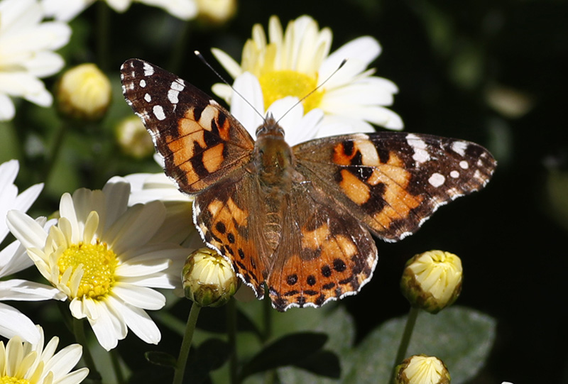 A painted lady butterfly flies near daisies in a garden in downtown Denver on Wednesday.