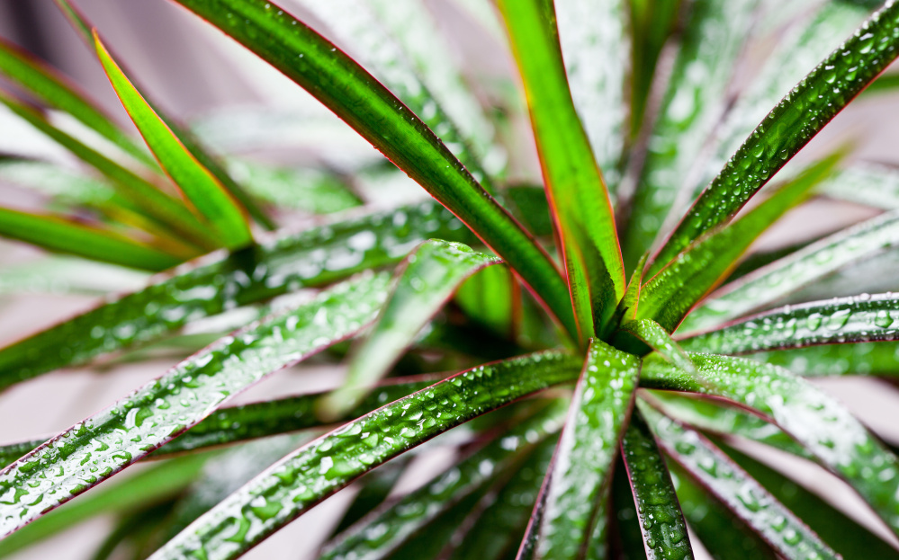 Dracena is an easy houseplant for those who think they can't grow houseplants. Photo by Marilooo/Shutterstock.com