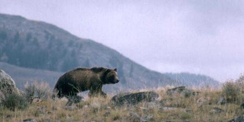 Once hunted to near extinction, grizzly bears are no longer a federally protected species, and  groups are pushing for limited hunting in three Western states.