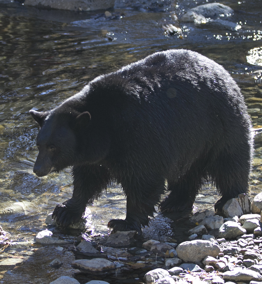 Blacks bears are returning to Nevada after increased human activity in the 1900s led to their local extinction.