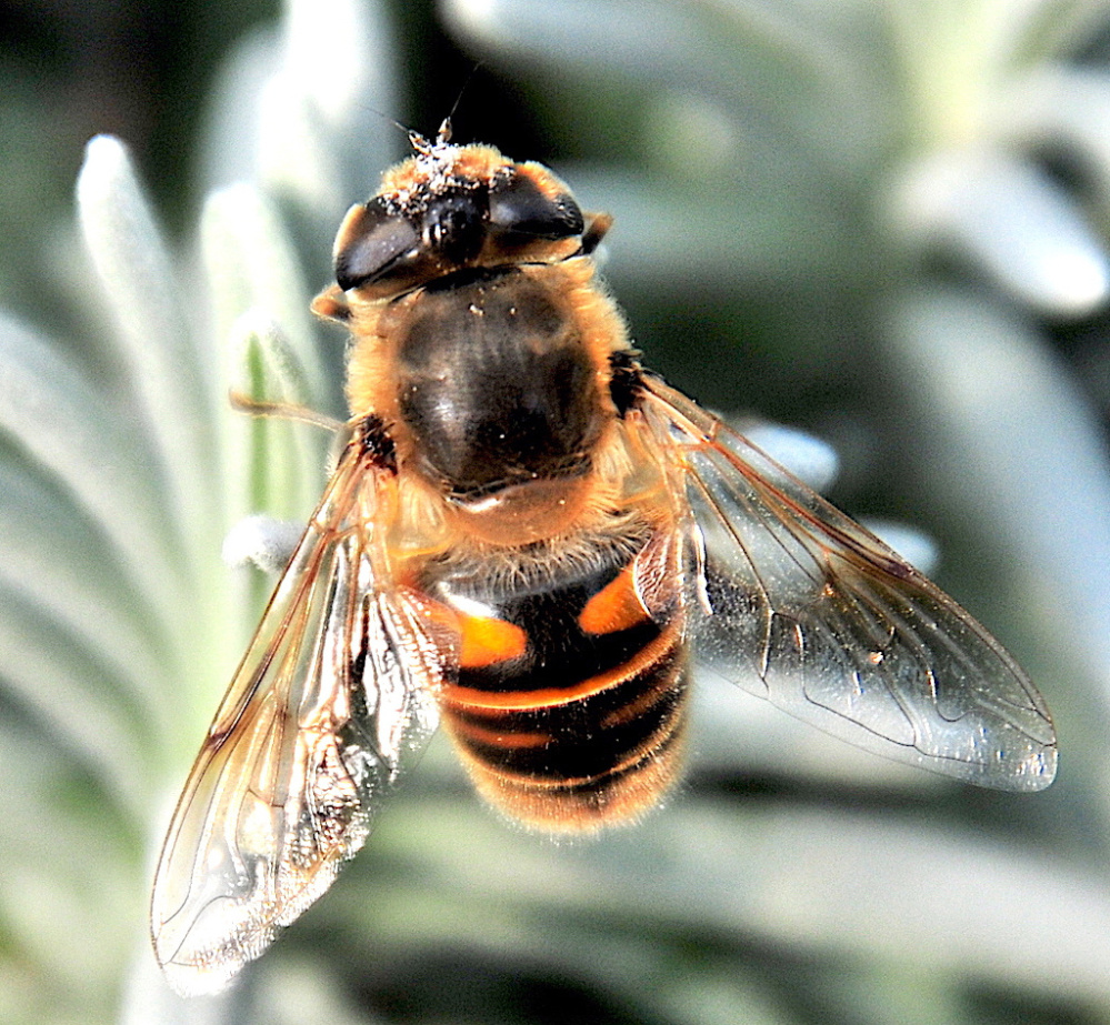 What's the buzz? Well, it was happening at Skillins Greenhouse in Cumberland,  where the bees were busy on various plants, reports Erik Bartlett of South Casco. He was close enough to see the pollen around its eyes and antennae.