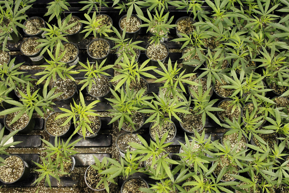 Marijuana plants bloom at a laboratory in Natural Ventures in Caguas, Puerto Rico. There is growing evidence that marijuana availability reduces demand for alcohol.