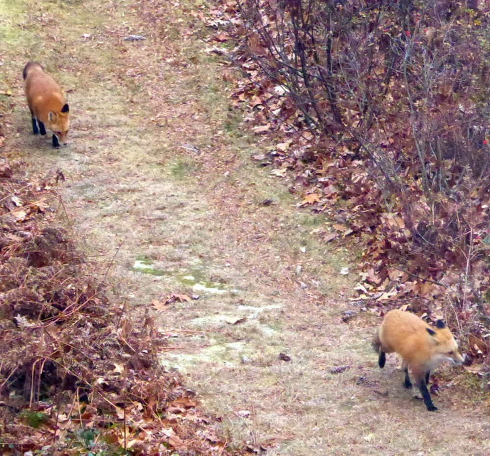 "A pair of foxes scampered on the Bridgton property of Bill Pries, and he reports, ""they are very healthy looking."""