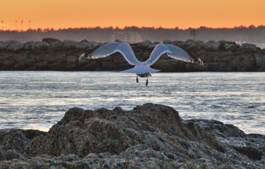 Brian K. Lovering of New Gloucester got a photo of this gull taking off at sunset at Ferry Beach in Saco.