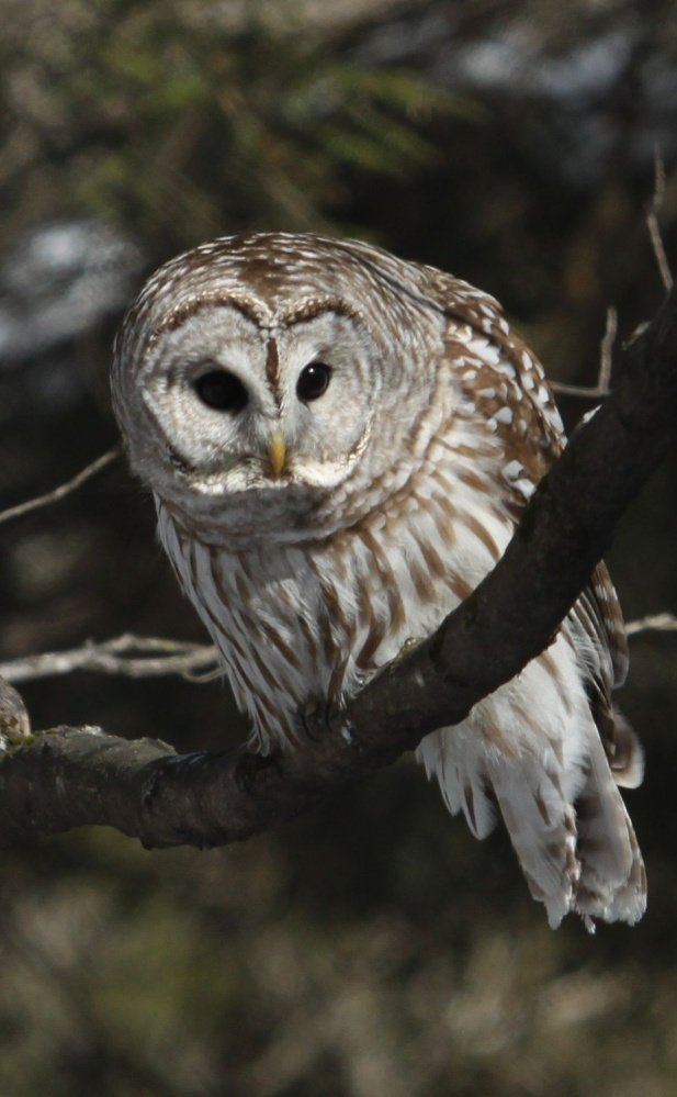 It was the one that got away. This barred owl was on its perch in Wilton with an eye on a red squirrel and thoughts of dinner, but as Jim Knox reports, the squirrel escaped.