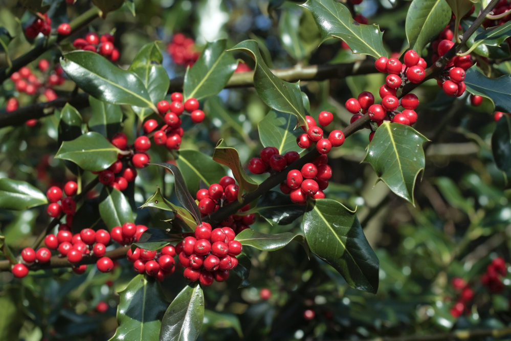 Add Native Plants For Holly Jolly Christmas For People And