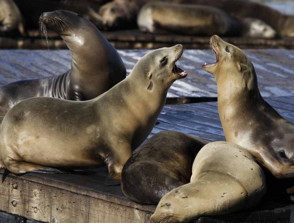 Sea lions bark in San Francisco Bay, where two swimmers were bitten this week.