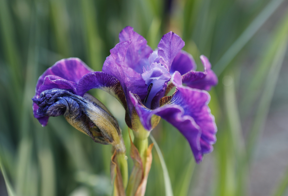 Maine plant societies attract fans of irises. One of the benefits of membership is the opportunity to swap, buy or win plants at society events.
