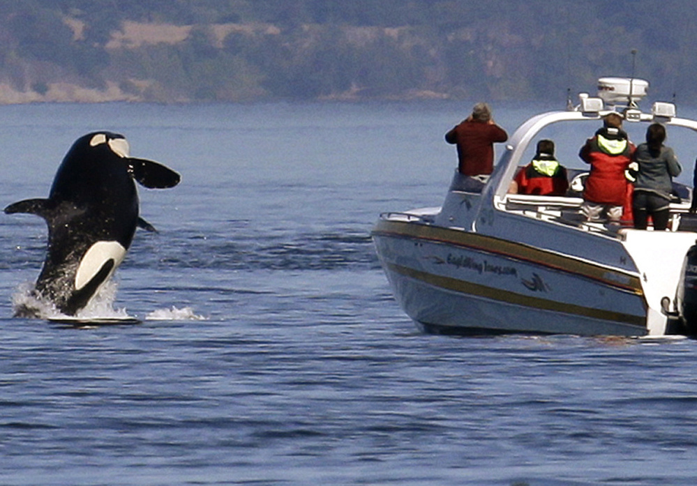 An orca leaps out of the water near a whale-watching boat off the San Juan Islands. Federal restrictions enacted in 2011 require vessels to stay at least 200 yards away from whales.