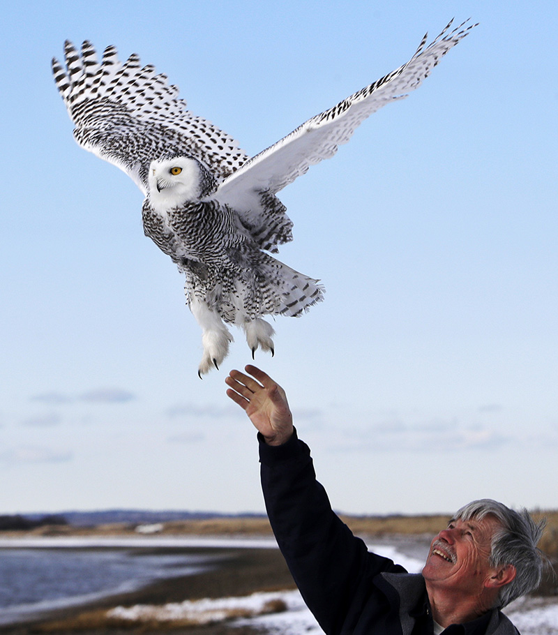 Norman Smith, director of Mass Audubon's Blue Hills Trailside Museum, releases a snowy owl  in Duxbury, Mass.