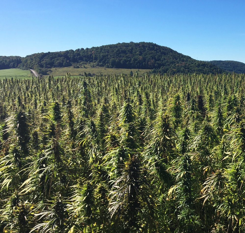 Hemp grows in a field in Eaton, N.Y. Maine first issued grower licenses in 2016 and the state's industry appears ripe for expansion.