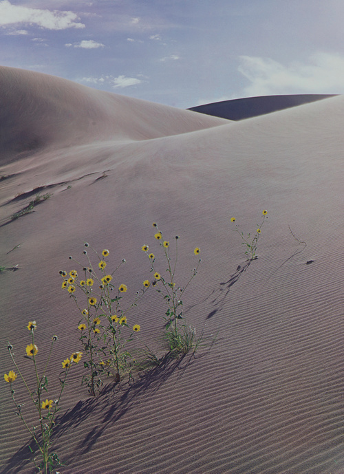 """Sunflower and Sand Dune,"" 1959, dye imbibition print, 16 by 11¾ inches. Gift of Owen W. and Anna H. Wells."