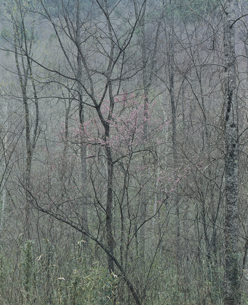 """Redbud Tree in Bottom Land, Red River Gorge, Kentucky, April 17, 1968,"" 1979, dye imbibition print, 13  x 10¾ inches. Gift of Owen W. and Anna H. Wells."