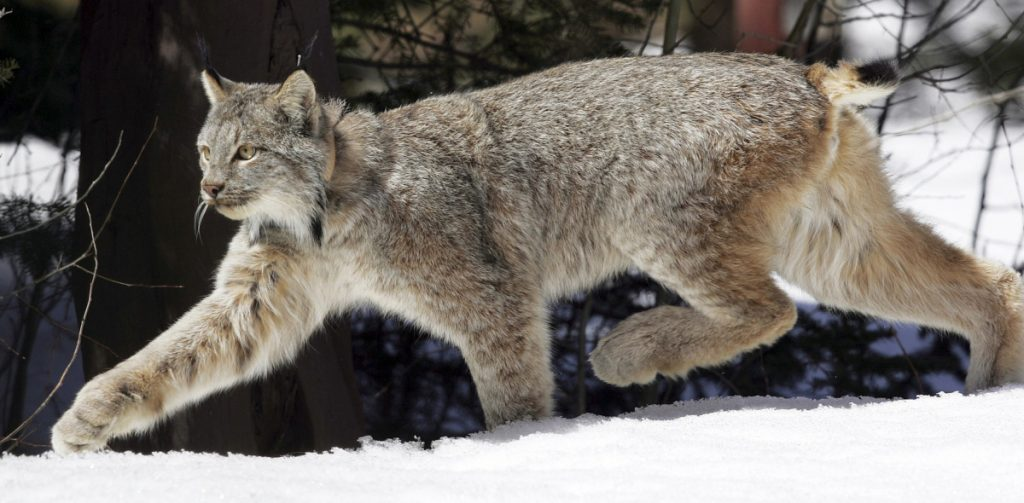 A Canada lynx heads into the Rio Grande National Forest after being released in 2005 in Colorado. The lynx, which are about the size of bobcats and have big paws to help navigate deep snow, are also found in Maine, Montana, Minnesota, Idaho and Washington state.