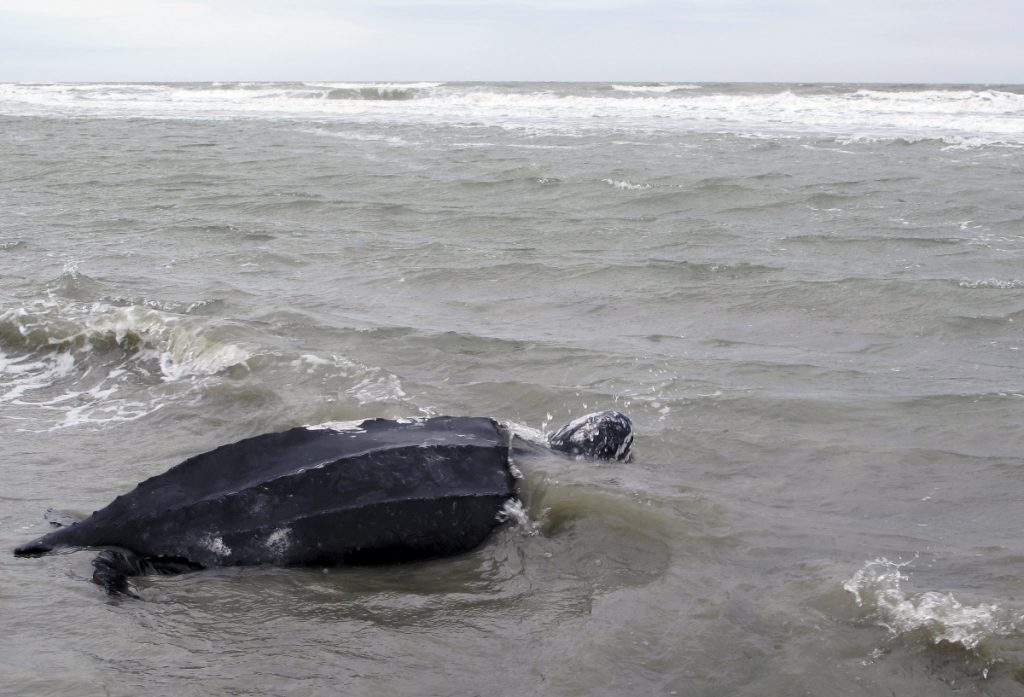 A rare leatherback sea turtle named Yawkey moves off the beach and returns to the the Atlantic Ocean at Isle of Palms, S.C., after it was treated at the South Carolina Aquarium in 2015. Leatherbacks live all over the world's oceans and have been listed as endangered by the U.S. since 1970.
