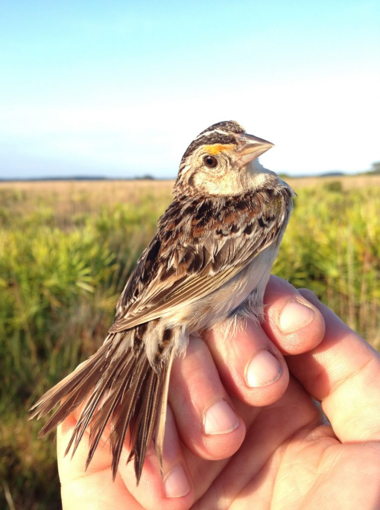 Grasshopper sparrows face extinction from combined effects of loss of habitat and disease. Budgeting to save them is uncertain.