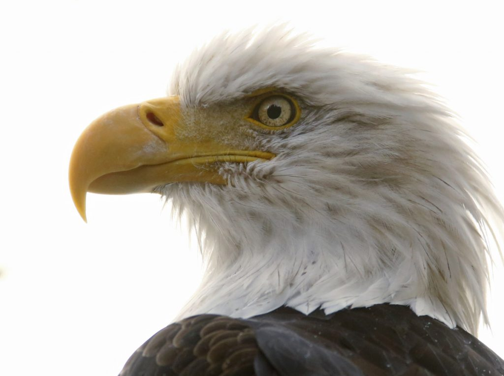 Counting bird populations like bald eagles can be extremely difficult because of possible duplication.