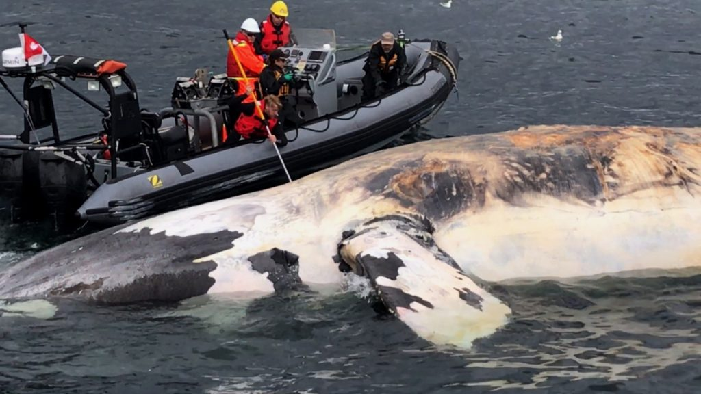 Researchers and animal rescue personnel examine the carcass of a North Atlantic right whale along the Gulf of St. Lawrence in Canada last summer. The spate of 17 deaths last year represents 3 percent of the species' total population of 450, prompting scientists to warn that the endangered marine mammals could become functionally extinct by 2040.
