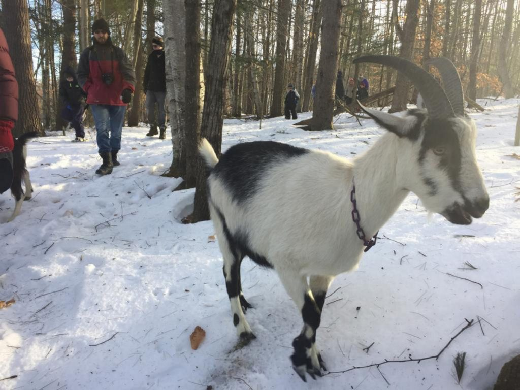 A French alpine goat accompanies hikers at Ten Apple Farm in Gray.