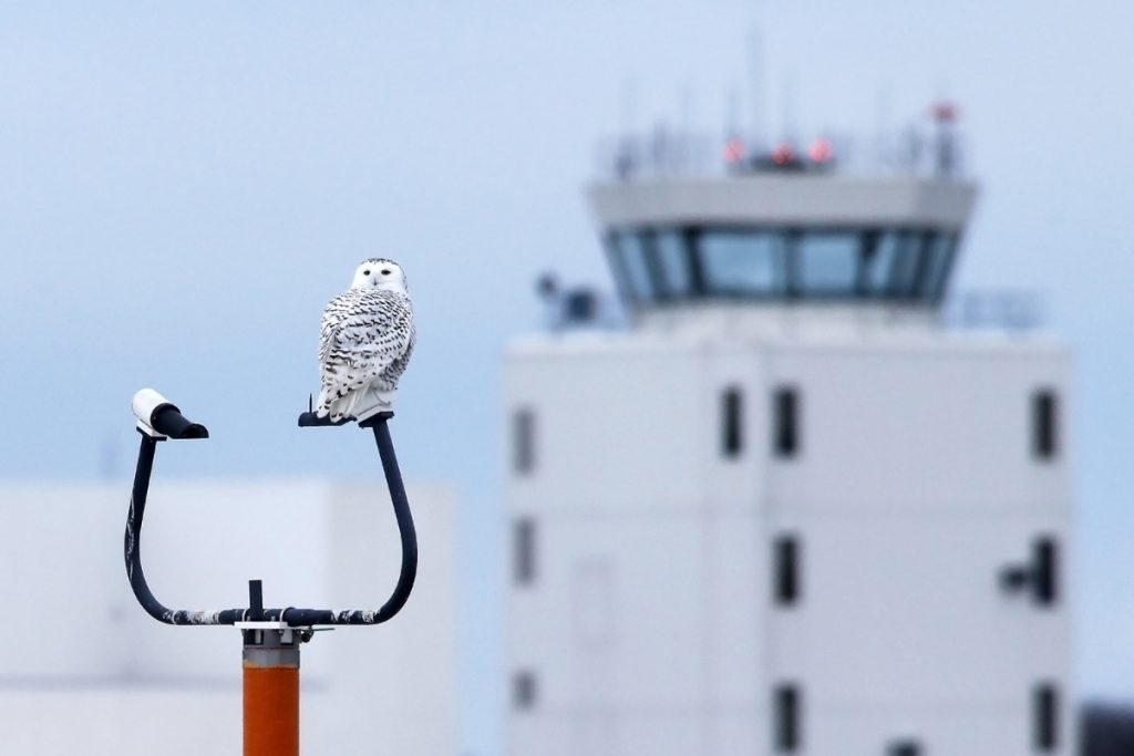 A snowy owl perches on a navigation pole at the Portland International Jetport on Tuesday. Several snowy owls have returned to the airport causing traffic problems on the southern end of the property as birdwatchers park illegally.