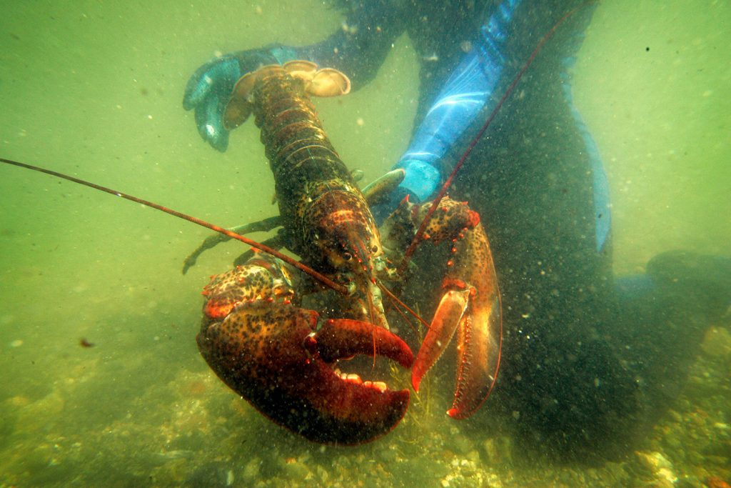 A scientist holds a lobster underwater on Friendship Long Island, Maine, in 2007. A study says conservation practices have allowed the northern New England lobster industry, a backbone of Maine's economy, to thrive in the face of rising ocean temperatures while the southern New England lobster catch has plummeted.