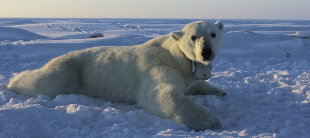 A polar bear wearing a GPS video-camera collar lies on a chunk of sea ice in the Beaufort Sea in this photo provided by the U.S. Geological Survey.