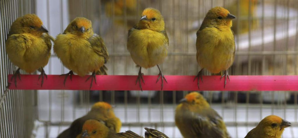 A pod of rescued finches in a cage at the Forest Service and Wildlife facilities in Lima, Peru.
