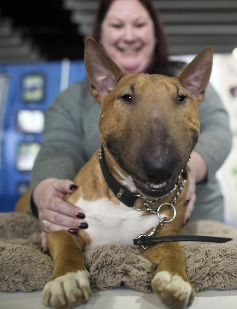 Erin Marcotte of Raymond, N.H., shows off Ronin, a 2-year old miniature bull terrier.