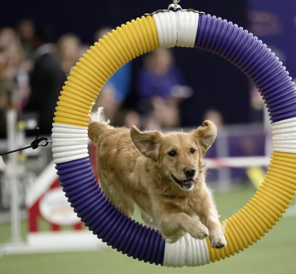 Tommee, a golden retriever, competes in the Masters Agility Championship at the Westminster Kennel Club Dog Show on Saturday.