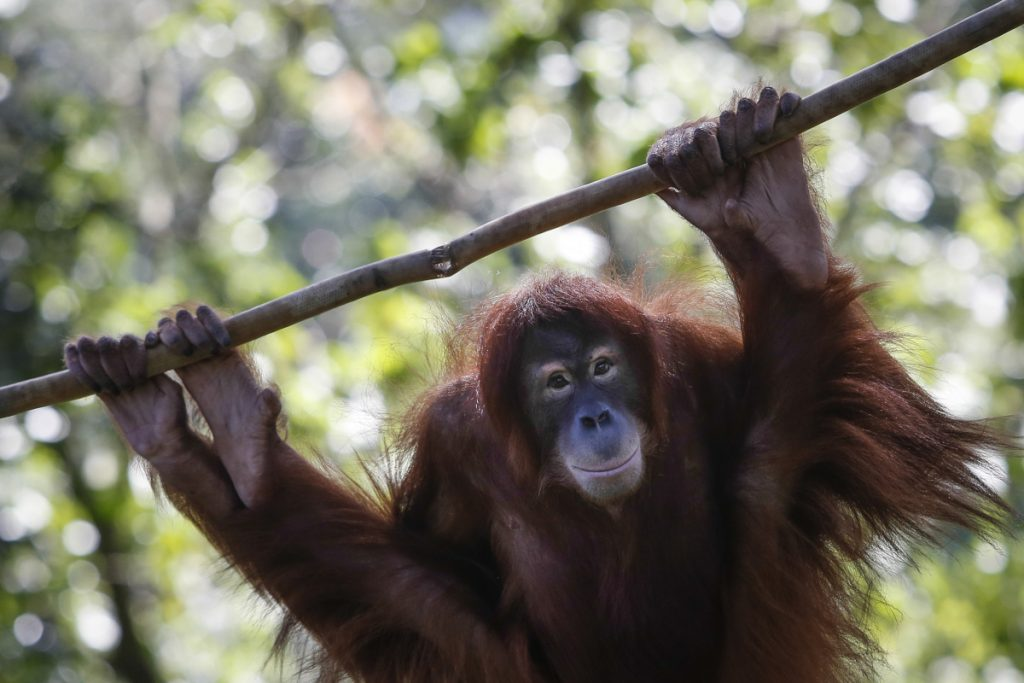 Tsunami, an 11-year-old female Sumatran orangutan, hangs on a rope in her enclosure during her birthday celebration at the National Zoo Ape Center in Kuala Lumpur, Malaysia, in 2015.