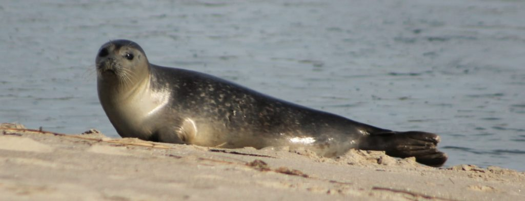 Martha Huestis of Kennebunkport used a telephoto lens to get this  shot on Parsons Beach in Kennebunk before the seal went back into the water, perhaps to get away from curious onlookers in February 2018..