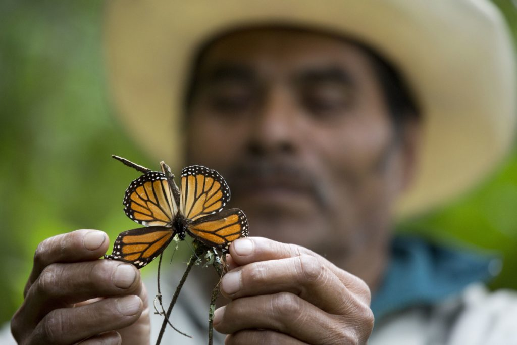 A dying butterfly at the monarch butterfly reserve in Piedra Herrada, Mexico. Without trees to provide thermal cover and roosting sites, the butterflies can freeze to death.