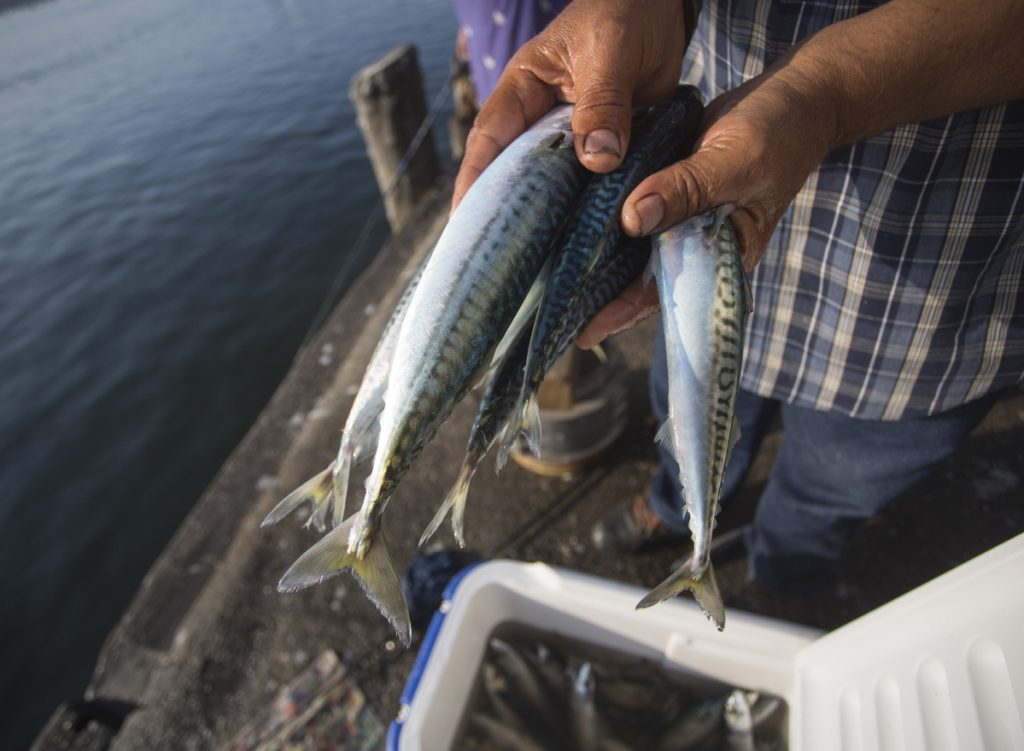 Commercial fishermen will be prohibited from fishing more than 20,000 pounds of Atlantic mackerel per trip for the remainder of the calendar year.