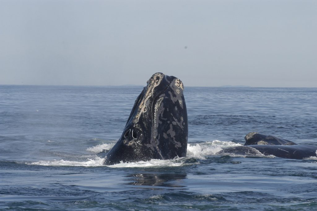 A right whale raises its head out of the water in the Bay of Fundy in 2005. Dozens of endangered right whales have been spotted in Cape Cod Bay, but no babies have been reported yet this year.