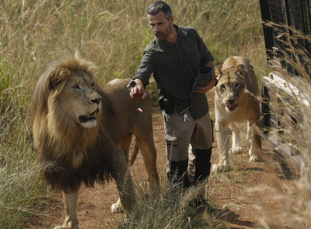 "Kevin Richardson, an animal protection activist known as the ""lion whisperer,' takes two of them for a walk in the Dinokeng Game Reserve in South Africa last March. Associated Press/Denis Farrell"