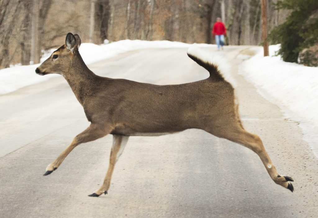 A white tail deer crosses Charles E. Jordan Road in Cape Elizabeth on Feb. 12.