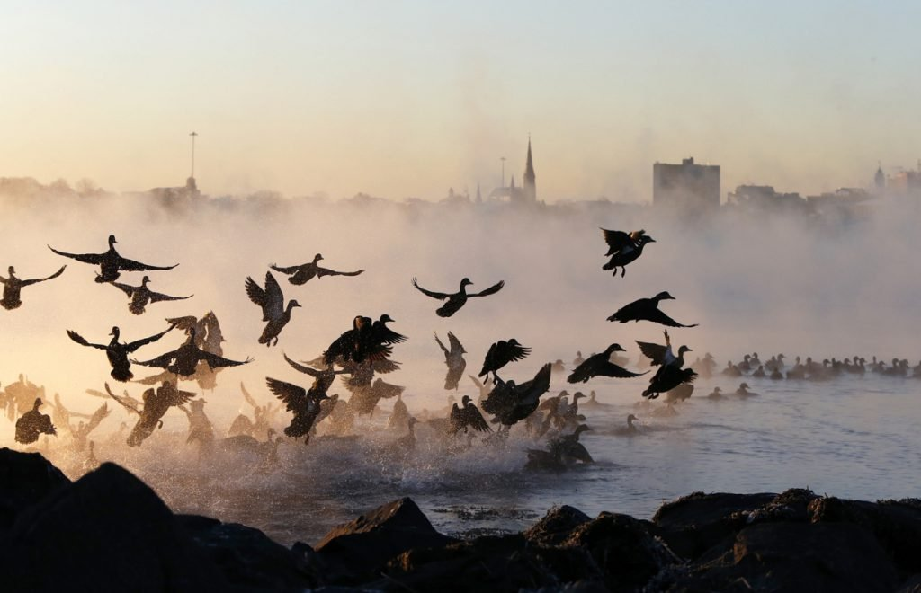 A flock of waterfowl take flight through sea smoke over Back Cove during single-digit weather at sunrise.
