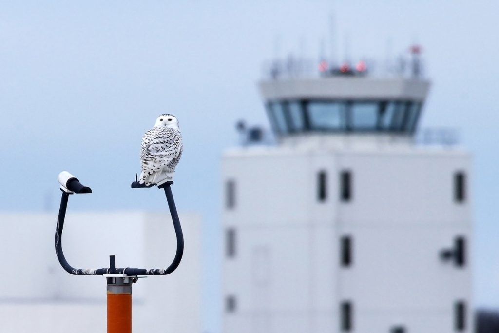 A snowy owl perches on a navigation pole at the Portland International Jetport.