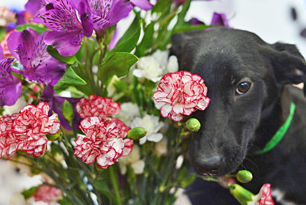 Cherry, a 5-month-old black lab mix, awaits Valentine's Day at the Windham County Humane Society in Brattleboro, Vermont.
