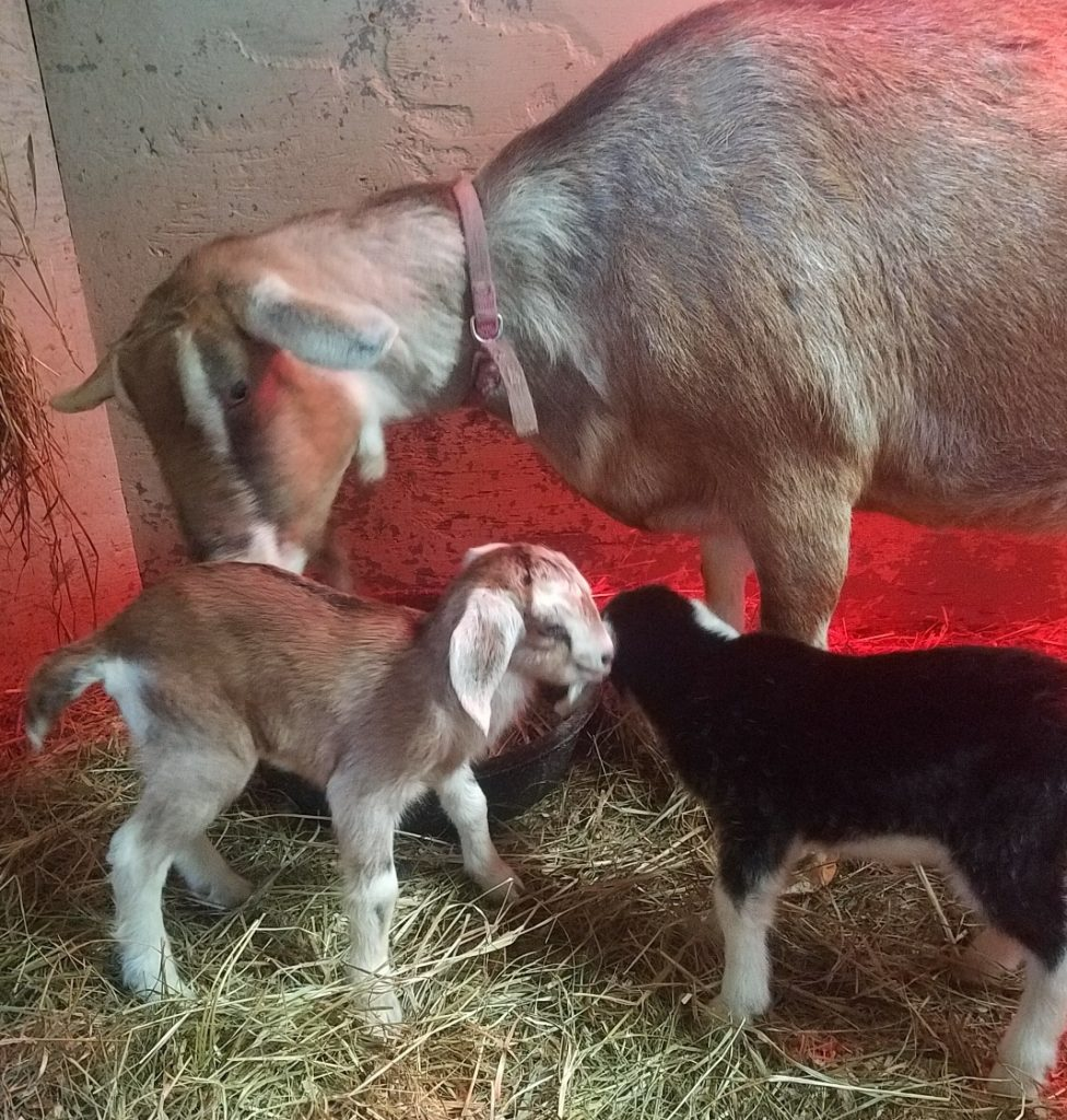 Ava, a Toggenburg goat that was pregnant, pictured, was shot and killed by someone at Smiling Hill Farm. A reward has been offered for information that leads to the conviction of the culprit.