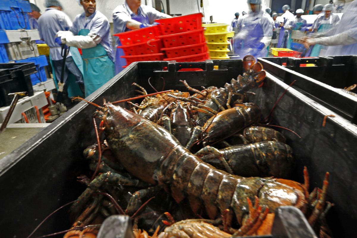 size and value of maine lobster haul fell sharply in 2017