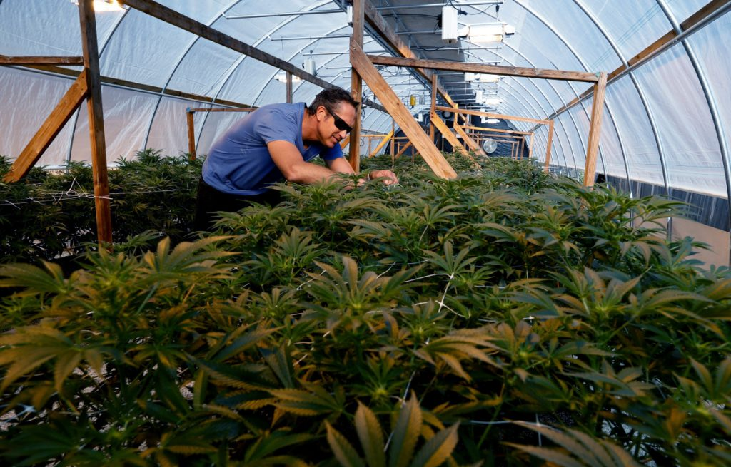 Medical marijuana cultivator Jeremy Maddux inspects his plants inside one of two greenhouses on his property in Angels Camp.