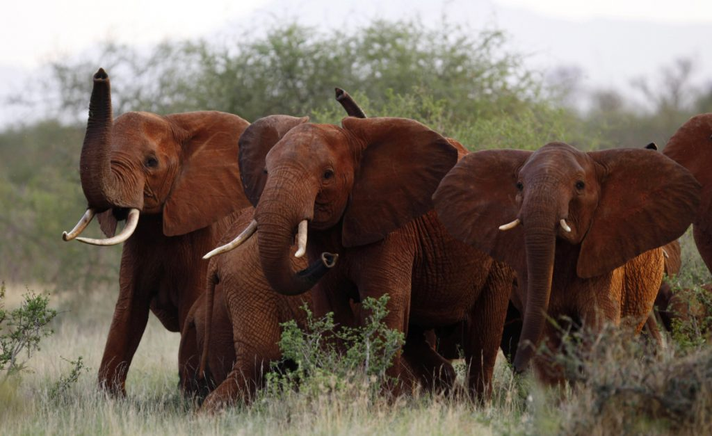 A herd of elephants travels through Tsavo East National Park in Kenya in 2010. The Trump administration is again allowing Americans to import the body parts of African elephants shot for sport, despite presidential tweets last year decrying the practice as a