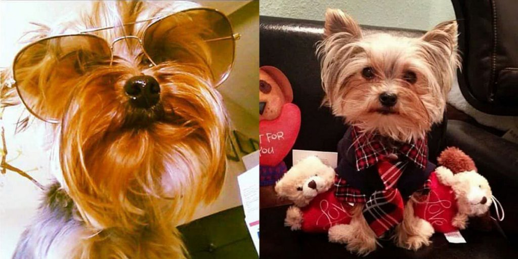 Rocco Armani was a 5-year-old Yorkie killed Monday when a man brought a pit bull into a Lewiston apartment.