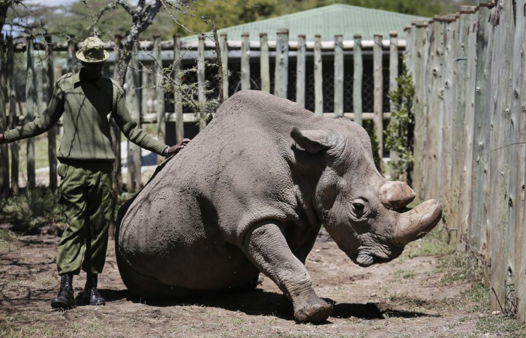 "A ranger takes care of Sudan, the world's last male northern white rhino, at the Ol Pejeta Conservancy in Laikipia county in Kenya. Sudan, has died after ""age-related complications,"" researchers announced Tuesday, saying he ""stole the heart of many with his dignity and strength."""