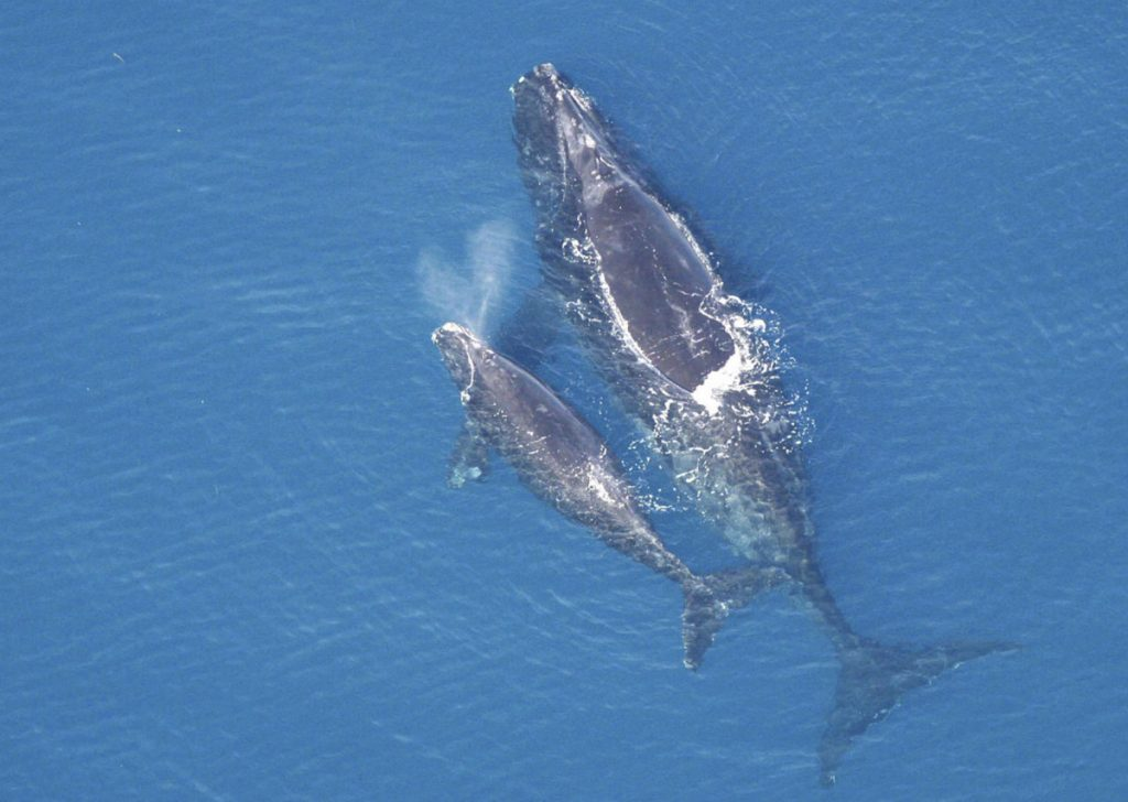 A right whale and calf swim off the coast of Florida in February 2005. The National Oceanic and Atmospheric Administration confirmed 28 mother-calf sightings that year.