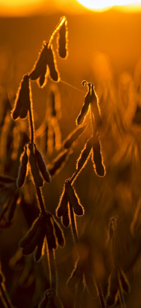 Soybeans stand in a field at dusk in Buda, Illinois.
