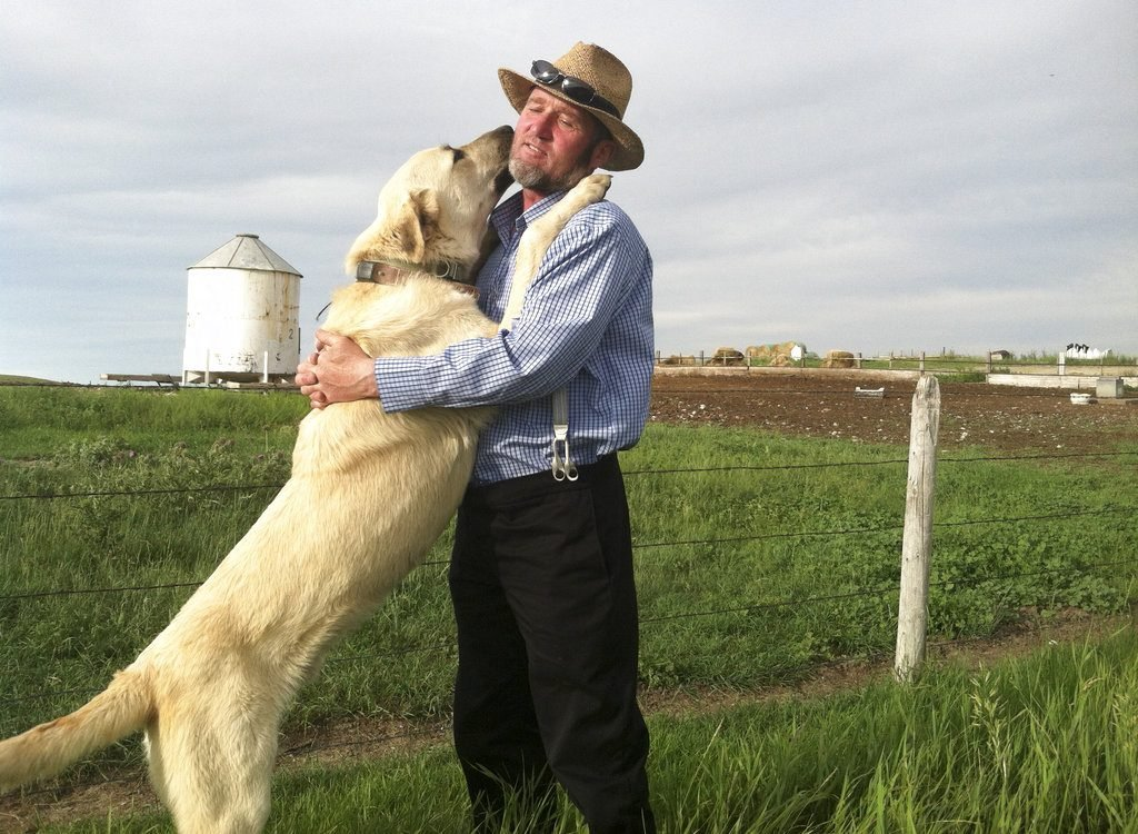 A Kangal dog greets Ben Hofer of the Hutterite Rockport Colony near Pendroy, Mont. The U.S. Department of Agriculture supplied Kangals, Karakachans and Cão de Gado Transmontanos that can weigh 150 pounds to guard sheep in 5 Western states.
